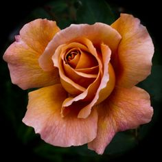 Julias Rose. By Jack o' Lantern [Buff or Pinkish White] Hybrid Tea raised by Wisbech ( England, 1976) One of the most well-known of the so-called Coffee Roses slight fragrance