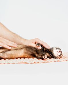 "628 Likes, 6 Comments - Moose's Ferret Photography  (@the.modern.ferret) on Instagram: ""Ferret Photoshoot Tip # 1: Make sure to take massage breaks every 30 seconds to keep your ferrets…"""