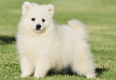 So want a Japanese Spitz Puppy, saving up!