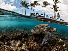 Photograph by Lorenzo Menendez, My Shot    A green sea turtle swims in shallow water off Hawaii.