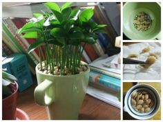 Here's How To Grow A Lemon Tree In A Cup!
