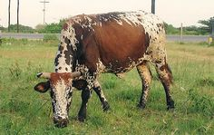 The Nguni Breed Southern Africa's indigenous Nguni Cattle could possibly be the most beautiful cattle in the world. A fusion of indigenous and Indian Zulu, Cattle, Farm Animals, Sheep, Cow, Coastal, Moose Art, African, Horses