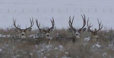mule deer - Google Search