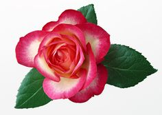 Yellow Rose Clip Art   If you're new here, you may want to subscribe to my RSS feed . Thanks ...