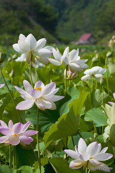 Lotus garden by Toshimo1123, via Flickr