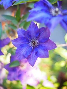 Clematis,クレマチス | Flickr - Photo Sharing!