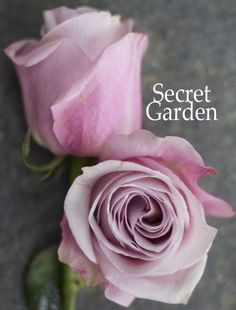 Secret Garden - a blush pink rose by http://www.harvestwholesale.com