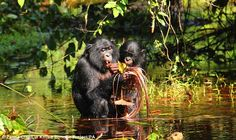 Bonobos use high-pitched peeps to communicate with one another in a variety of situations, like feeding as shown above. Scientists believe this is similar to the way human babies use babbled noises, known as protophones, to indicate what they are feeling or what they want before they learn to speak
