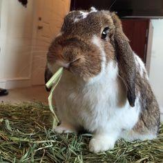 rabbit eating timothy hay