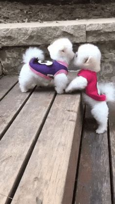 Cute Baby Puppies, Super Cute Puppies, Baby Animals Super Cute, Cute Little Animals, Cute White Puppies, Cute Small Dogs, Cute Funny Dogs, Cute Funny Animals, Funny Babies