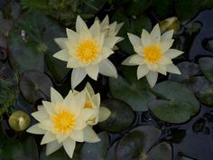 pygmaea-helvola-pygmy water lily for sm pond Small Backyard Ponds, Ponds For Small Gardens, Garden Pond, Aquatic Plants, Water Lilies, Lotus, Garden Ideas, Lily, Google Search