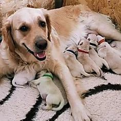 Keen animal lover, Louise Sutherland from Scotland, had a wonderful and unexpected surprise when her golden retriever gave birth to some cute puppies. Check out to see what happened. Cute Little Puppies, Cute Puppies, Dogs And Puppies, Puppy Pictures, Cute Pictures, Animal Memes, Funny Animals, Green Superhero, Golden Labrador