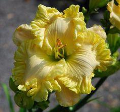 Daylilies Australia - Visit irisanddaylily.com.au and get beautiful Daylilies in Australia.