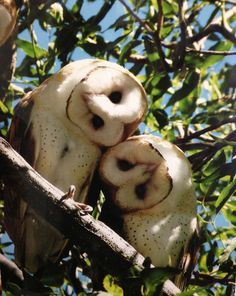 Barn Owl pair (so cute)