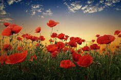 Poppy Flower Garden