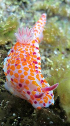 Ceratosoma amoenum, or the clown nudibranch