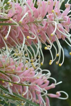 Grevillea 'Flamingo' Best Picture For Garden design drawing For Your Taste Y. Australian Native Garden, Australian Native Flowers, Australian Plants, Exotic Flowers, Large Flowers, Beautiful Flowers, Screen Plants, Australian Wildflowers, Native Australians