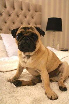Fancy pug slumpin'