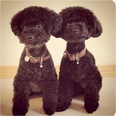 Toy poodle twins! I love their haircuts! Need to get Princess a cut like this next time!