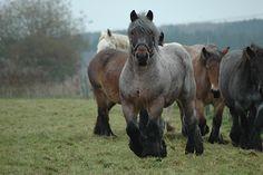 Ardennais draft horses