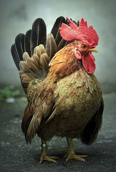 Sirajuddin Halim. (OK, I know this is not a dog, but I don't really want a board just for chickens...)