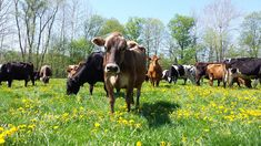 Milk from Pastured Cows is Better for You - Cornucopia Institute