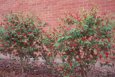 Zone Ht and Wd; Pink, White, and Red Blossoms Red Plants, Landscaping Plants, Garden Inspiration, Blossoms, Shrubs, Pink White, Colorado, Trees, Landscape