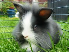 longhaired lionhead rabbit - Google Search