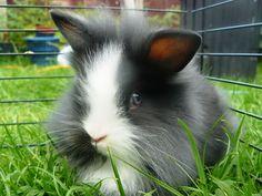 longhaired lionhead rabbit - Google Search