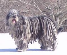 Image result for bergamasco sheepdog