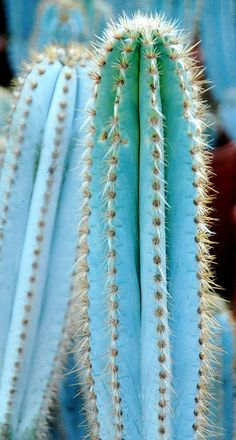 ♂ Blue cactus Pilosocereus pachycladus Ritter. I have this, and it is has blooming yellow buds.