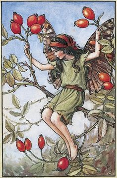 Illustration for the Rose Hip Fairy from Flower Fairies of the Autumn. A girl fairy sits on the branches of a wild rose.    Author / Illustrator  Cicely Mary Barker