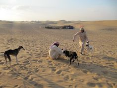 Trainer taking good train Saluki Dog's