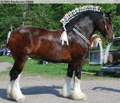 Maes Knoll Tudor Rose, Shire mare