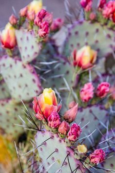 Pink and yellow flowers on a prickly pear cactus. These are stunning, easily recognized cactus that make fantastic low maintenance house plants! Blooming Flowers, Cactus House Plants, Indoor Cactus, Prickley Pear, Cactus Pictures, Cactus Photography, Cactus Vector, Cactus Flower, Cactus Cactus