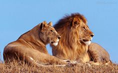 Lion and lioness in Africa
