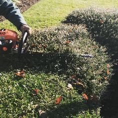 It was a busy week of prep & shrub pruning before with more planned for after Christmas. Glad the guys have a few days off of relaxation . . . #BlackDog #lawncare #landscapes #landscaping #landscaper #landscapersofinstagram #landscapers_of_instagram #shrubtrimming #shrubpruning #christmas #christmas2017 @echousa #echopowerequipment @landscapers_unite #dogs #dogsofinstagram #labsofinstagram #blacklab