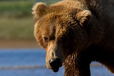 Grizzly Bear crossing a river Hallo Bay Alaska.