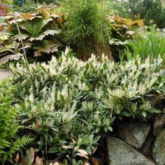 Lagerhägg på baksidan i skuggan Woodland, Plants, Pictures, Plant, Planets