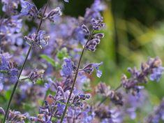 Hagekattemynte 'NEPETA racemosa' er en lettstelt staude for sol. Den tilhører leppeblomstfamilien og trives i godt drenert jord med grus og kompost. Herdighetssone H5-6. Høyde ca 30 cm. Blomstrer i spir i fargen lyseblå. ar en tendens til å legge seg ned, noe som gjør den ypperlig til å skjule stygge kanter.