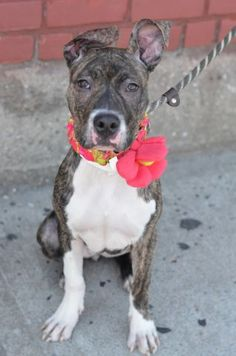 SAFE 8-17-2015 --- RETURNED 07/16/15 MOVEPRIVA --- SAFE 4-28-2015 --- Brooklyn Center PEBBLE – A1033807 FEMALE, BR BRINDLE / WHITE, AM PIT BULL TER MIX, 6 mos STRAY – STRAY WAIT, NO HOLD Reason STRAY Intake condition EXAM REQ Intake Date 04/20/2015