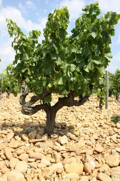 Chateauneuf Du Pape, Wine Tourism, Wine Vineyards, Douro Valley, Vitis Vinifera, South Of France, Wine Making, Vegetable Garden, Garden Landscaping