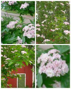 Ruusuja ja Rikkaruohoja * Roses and Weeds: Kyllä näitä nyt on! :)
