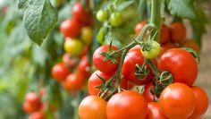 Tomaatti on ruoanlaitossa monipuolisesti käytettävä supervihannes, joka kuuluu lähes jokaisen suomalaisen kotitalouden viikoittaisiin ruokaostoksiin. Tomaatti on myös helppo kasvi omassa puutarhassa, tai parvekkeella kasvatettavaksi.