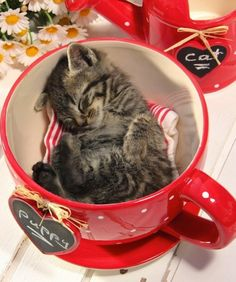 Kitten in cup but the wrong cup. She is in puppy cup not cat cup. Does not matter. Too cute. She can sleep where she wants!