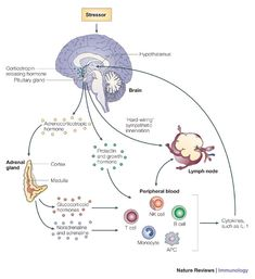 Stress-induced immune dysfunction. https://www.google.co.jp/search?q=Psychoneuroimmunology:PNI