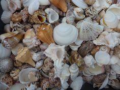 Seashells, Cape May, NJ