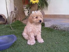 Sisters in Blog: visit our site to meet an adorable poddle!!!!!