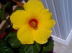 my hibiscus flower :)