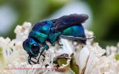 cuckoo wasp - Google Search